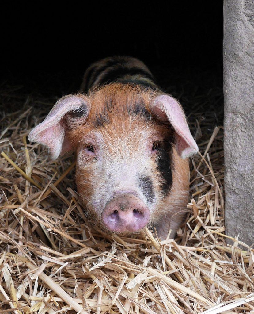 Marton pig